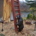 Bear at a Ladder